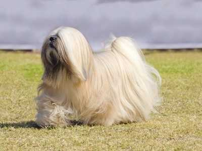 Lhasa Apso in a Full Show Coat
