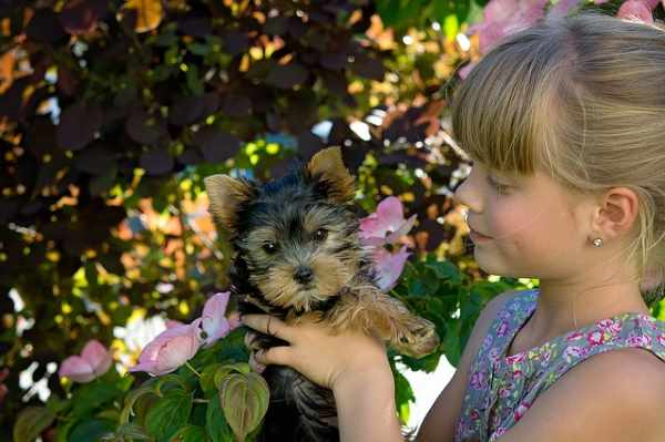 A girl is holding a Yorkshire Terrier Puppy