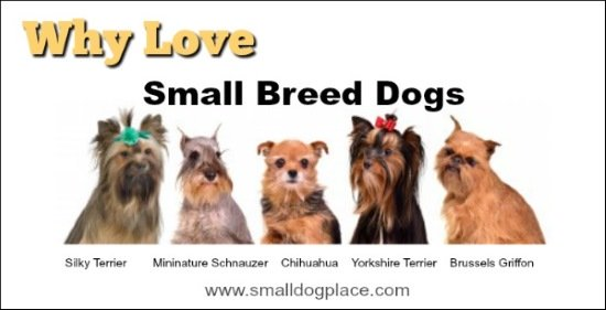 A group of five small breed dogs:  Silky Terrier, Miniature Schnauzer, Chihuahua, Yorkshire Terrier, and Brussels Griffon