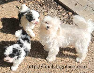 Two Mal Shi Puppies with their mother.