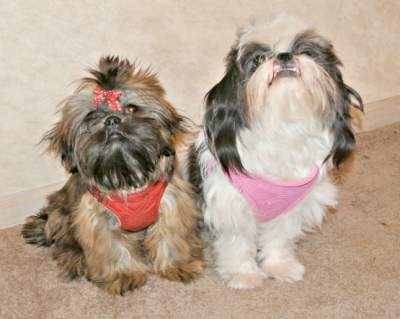 Two Shih Tzu Dogs: one boy and one girl