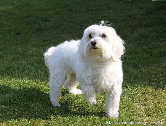 A small Maltese Dog standing in the grass