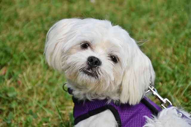 A Maltese dog wearing a purple harness is sitting on the grass.