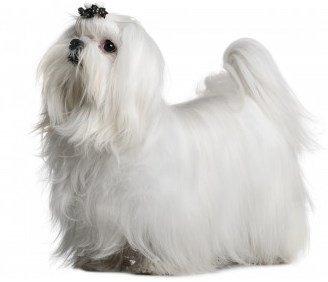 Maltese dog breed.