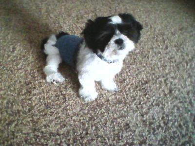 Benji as a Puppy