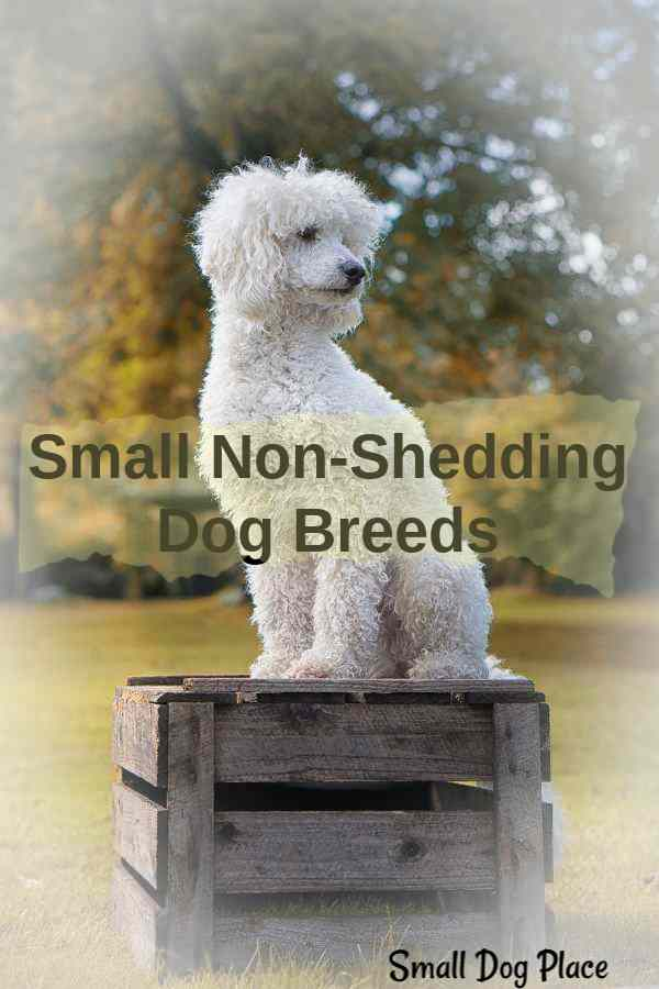 Non-shedding Small Breed Dogs