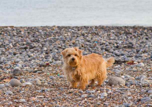 The Norfolk Terrier, Dog Breed Profile