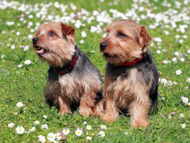Two Norfolk Terriers in the grass.