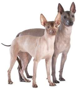 Mexican Hairless Terrier