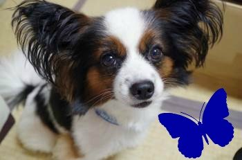 A Papillon's Ears Resemble a Butterfly