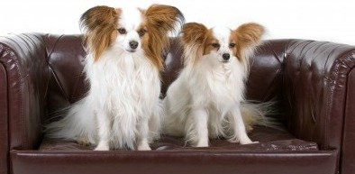 Papillons on a Sofa