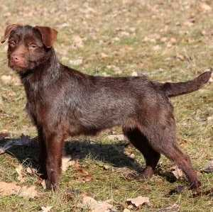 Patterdale Terrier (Wire)
