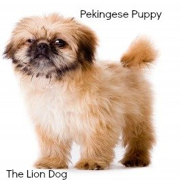 Pekingese Puppy:  The Lion Dog