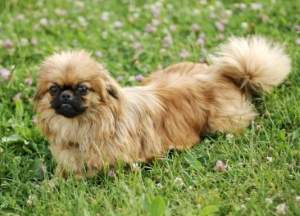 Pekingese in the grass