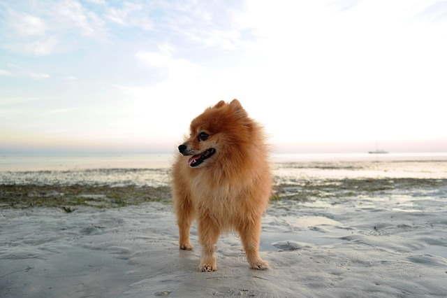 Pomeranian, Tiny dog breed