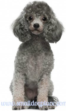 Silver colored toy poodle