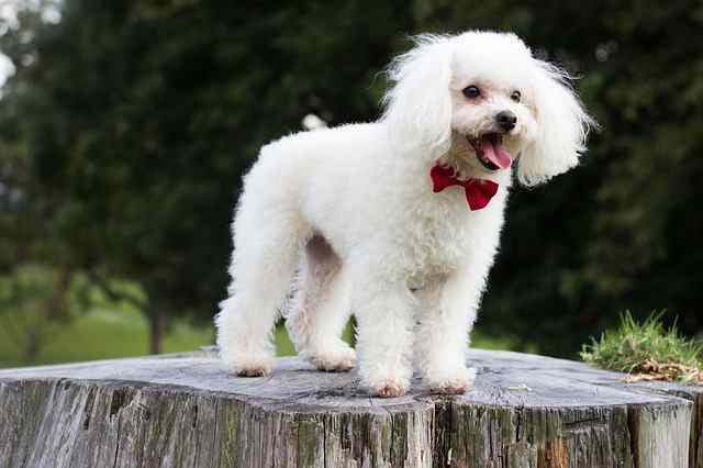 White Toy poodle standing on a log