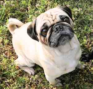 Pug:  Affectionate, Friendly, Easy to groom, Exercise needs are low;  Good with everyone