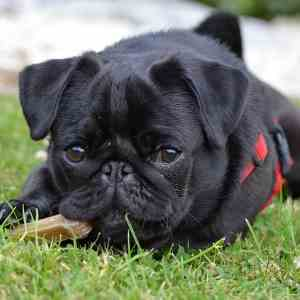 Black Pug Dog Breed Link to Pug Profile Page