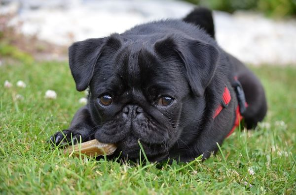 This black pug is lying in the grass while chewing on a bone.