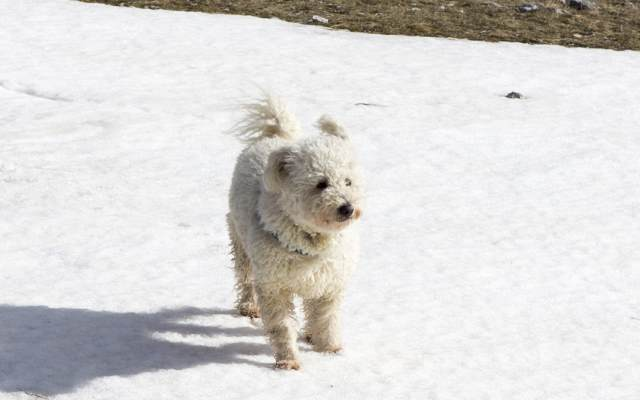 The Pumi Dog Breed does not tolerate extremes of climate well.