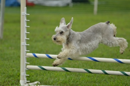 This Miniature Schnauzer is participating in an agility competition.