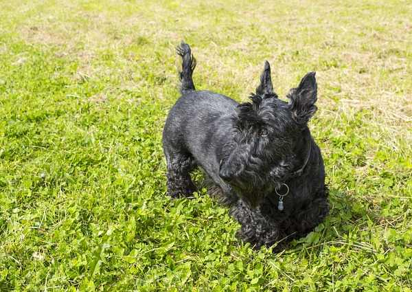Scottish Terrier Breed Profile
