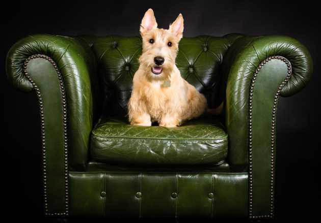 Wheaten Colored Scottish Terrier