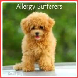 Best Dogs for Allergy Sufferers