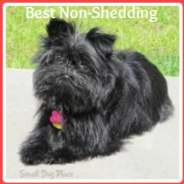 Best Non Shedding Dog Breeds