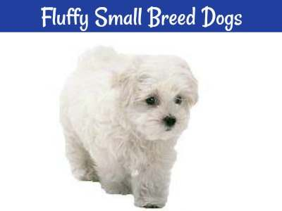 Soft and Fluffy Small Breed Dogs