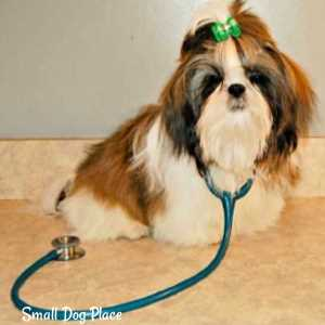 A to Z health concerns of small breed dogs