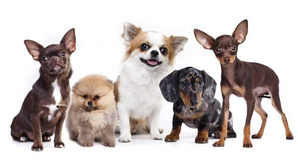All Small Breed Dogs from A to Z