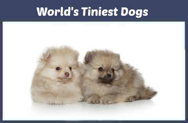 Some of the World's smallest dog breeds.