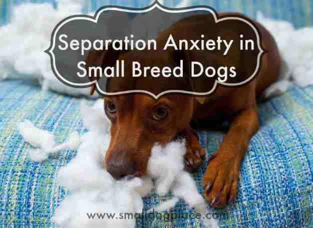 Separation Anxiety in Small Dog Breeds