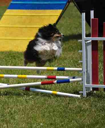 Shetland Sheepdog jumping over a double jump at an agility trial.