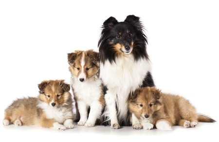 Shetland Sheepdog Family
