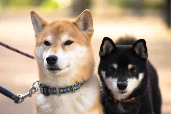 Two adult Shiba Inu dogs
