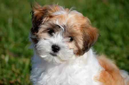 Pookie Dog Breed
