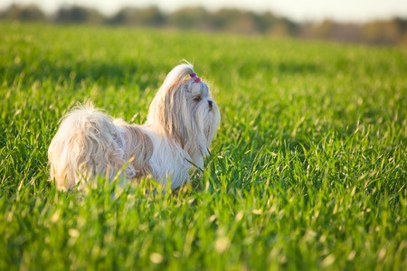 Shih Tzu Small Breed Dog