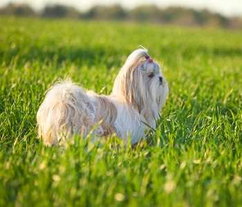 The Shih Tzu is another one of the longest living dog breeds.