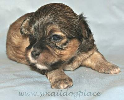 Shorkie Puppy at 2 weeks old.