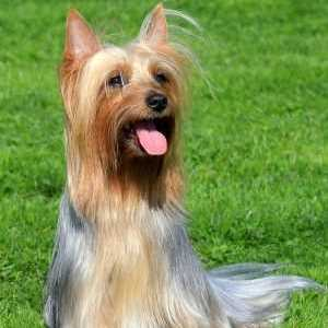 Silky Terrier in Show Coat