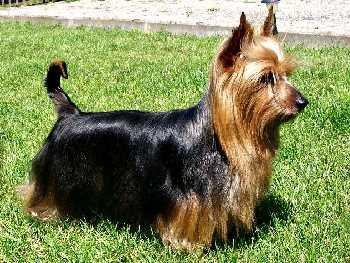 Silky Terrier in Full Coat
