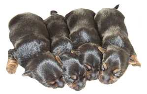 Silky Terrier Newborn Litter 0f four