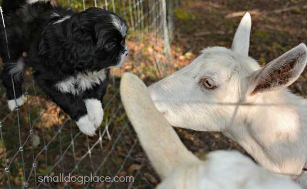 This Puppy is Being Socialized around Goats.