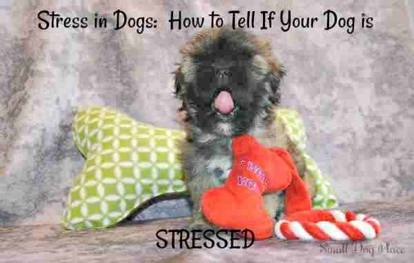 Puppy Dog Stress:  This dog is yarning, a sure sign he is stressed and trying to calm himself down.