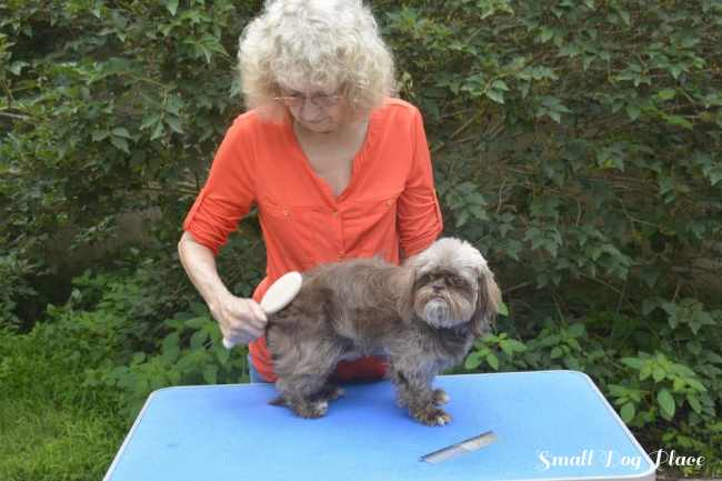 A chocolate Shih Tzu is being brushed outdoors.