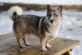 Swedish Vallhund:  All about the breed:  Temperament, history, training, grooming, pictures, pros and cons of the breed.