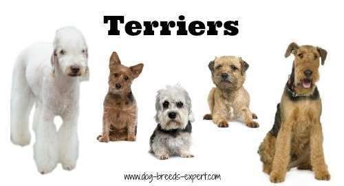 The Terrier Group:  A list of all small size terrier dogs.